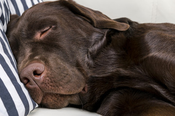Brown chocolate labrador retriever dog is sleeping on sofa with pillow. Sleeping on the couch. Young cute adorable tired labrador retriever dog. Dog nose close up.