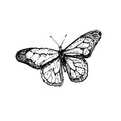 Hand drawn butterfly. Sketch, vector illustration.