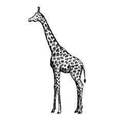 Hand drawn giraffe. Sketch, vector illustration.