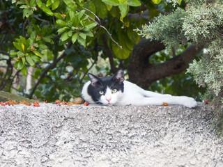 Gatto greco.