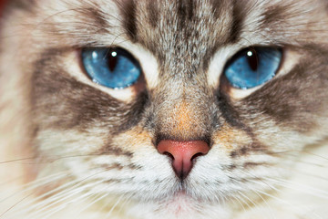 Siberian Neva Masquerade Close Up Cat Face