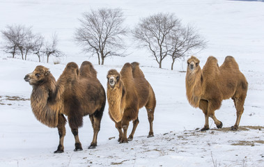 Tuinposter Kameel bactrian camels walking in a the winter landscape of northern Mongolia