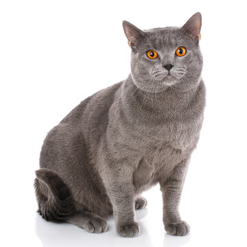 Chartreux cat on a white background.