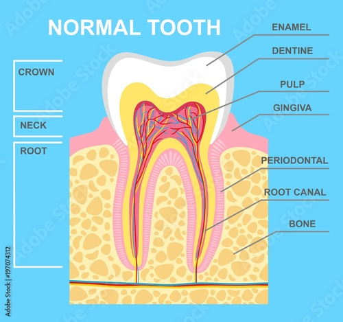 Illustration of human tooth diagram tooth structure vector illustration of human tooth diagram tooth structure vector illustration ccuart Gallery