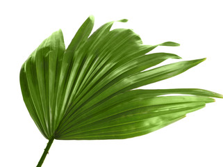 Green tropical leaf of Livistona Rotundifolia palm tree on white background