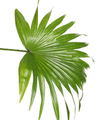 Green tropical leaf of Livistona Rotundifolia palm tree on white background