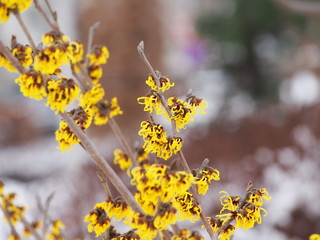 Yellow and burgundy inflorescences of Witch hazel. Hamamelis in full bloom. Winter in Poland.