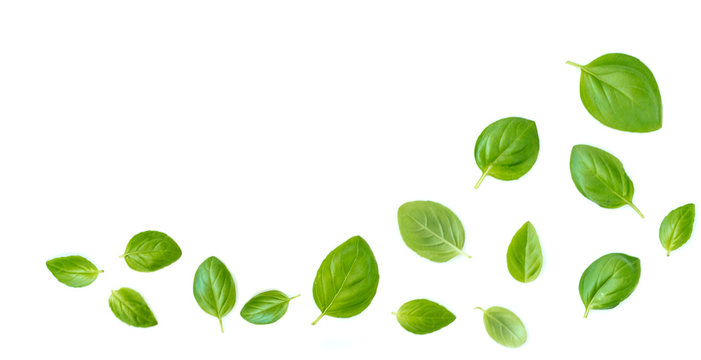 Fluing Fresh  basil herb leaves isolated on white background. Top view. Flat lay. .
