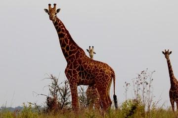 Giraffe, Savannah Serengeti, Tanzania, Africa