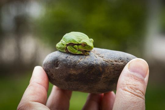 Green tree frog (Hyla Arborea) sleeping on the stone .