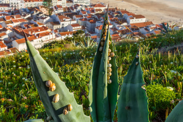 garden snails on the agave leaves with the portuguese Nazare village on the background