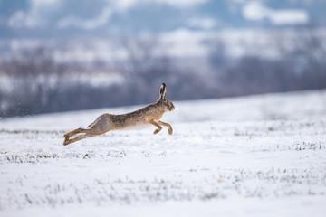 Hare running on snowy field