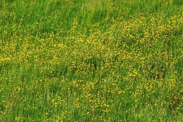 Wiese im Frühling mit Hahnenfuß. Natur-Hintergrund
