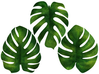 Big green tropical leaves white isolated