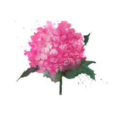 Hydrangea watercolor illustration. Pink flower isolated on a white background.