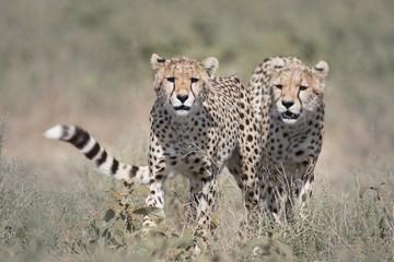 Wild free cheetahs walking
