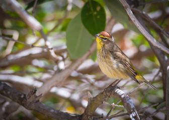 Palm Warbler - Setophaga Palmarum - Close - Up
