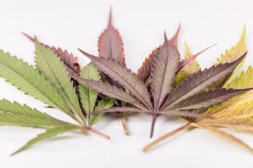 Marijuana Leaves Multicolor 2