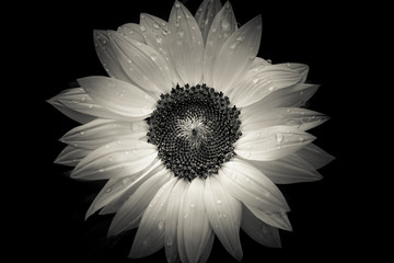 sunflower on black background, closed up, B&W color