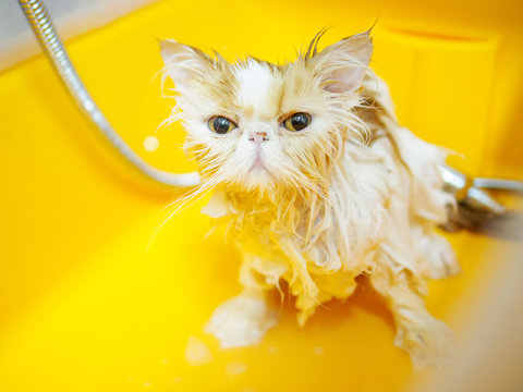 Wet, scared and unhappy cat during bath with bright yellow eyes, funny expression.