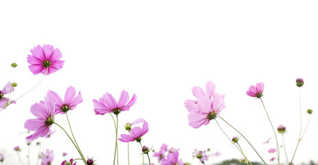 pink cosmos flower isolated on white background