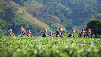 Akha Women from Thailand picking tea leaves on tea plantation at Chui Fong , Chiang Rai, Thailand.