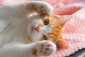 両手を挙げて超可愛らしい茶白ネコ