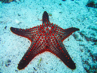 A colorful red cushion sea star on galapagos islands