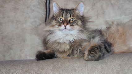 The arrogant fuzzy cat on the couch