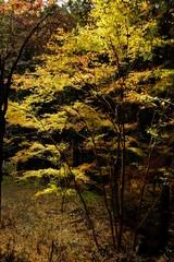 紅葉 黄色 木