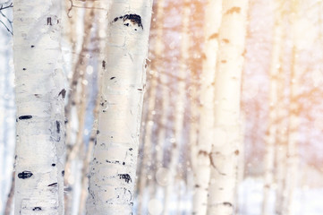 Natural landscape with trunks of birch trees in the sunlight.