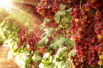 Vineyard landscape with ripe grapes at sunlight.