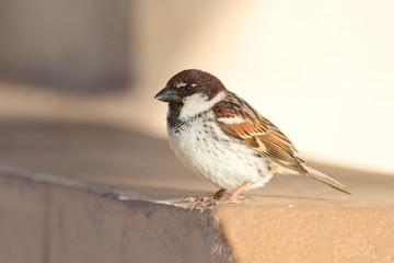 Italian sparrow (Passer italiae). Malta