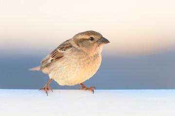 Italian sparrow (Passer italiae). Female in Malta