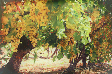 Vineyard landscape with ripe grapes at sun light.