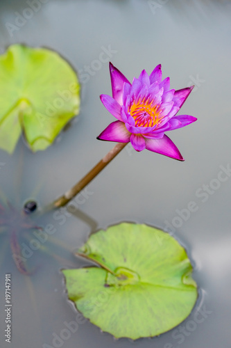 Purple Lotus Flower With Yellow Pollen Sits In A Pond Hovering Above