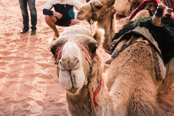 Camel in desert in a day