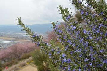 ハーブ 花 flower
