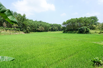 Rice field culture in Vietnamese countryside