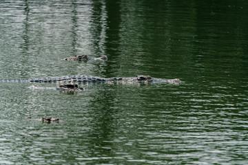 crocodile in the river