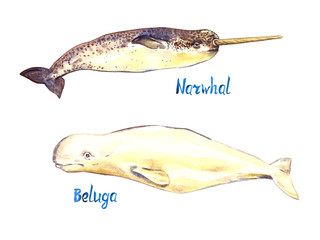 Narwhal and Beluga set, isolated on white background hand painted watercolor illustration with handwritten inscription