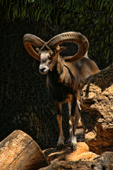 Cyprian wild sheep, Ovis orientalis ophion, live only in Cyprus
