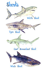 Sharks species set: White, Tiger, Great Hummerhead and Whale shark, isolated on white background hand painted watercolor illustration with handwritten inscription