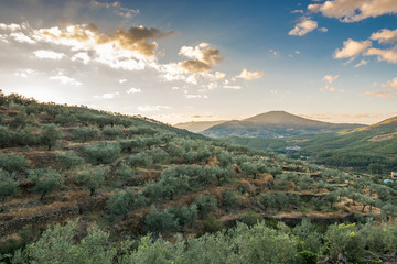 landscape of olive trees at sunset
