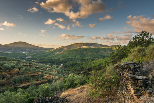 landscape of olive trees at sunset