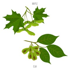 Maple and elm leaves seeds vector green acer leaf samples