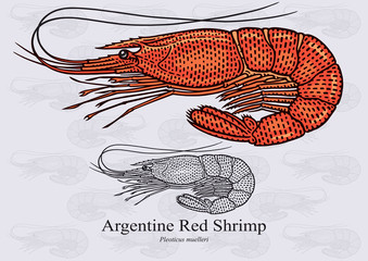 Argentine Red Shrimp. Vector illustration with refined details and optimized stroke that allows the image to be used in small sizes (in packaging design, decoration, educational graphics, etc.)