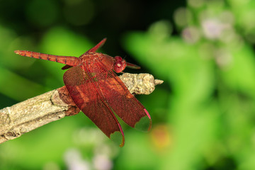 Image of Fulvous Forest Skimmer dragonfly(Neurothemis fulvia Drury) on a brown branch. Insect. Animal.