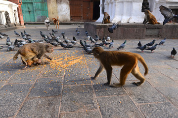 Macaque monkeys and doves eating corn