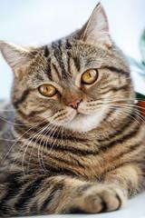 Portrait of British cat close up. Thoroughbred cat.